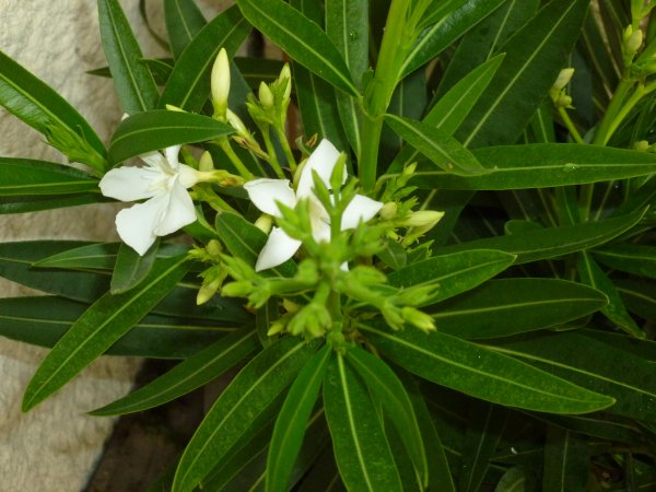 the blanc plante