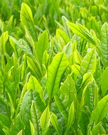 the vert cafeine