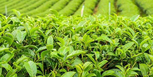 the vert plante